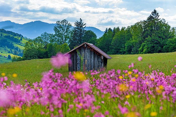 Holzhuette auf pinker Blumenwiese
